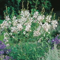Gaura The Bride Seeds