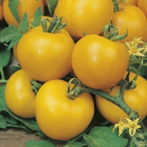 Tomato (Standard) Golden Sunrise Seeds