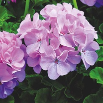 Geranium Maverick Quicksilver F1 Seeds