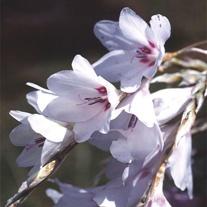 Dierama Snowbells Seeds