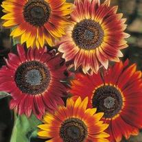 Sunflower Evening Sun Seeds
