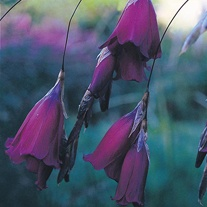 Dierama Blackbird Seeds