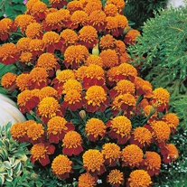 Marigold (French) Tiger Eyes Seeds