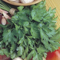 Parsley Giant of Italy (Organic) Seeds