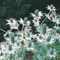 Eryngium Miss Willmot's Ghost