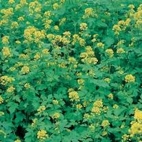 Green Manure Mustard White