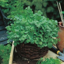Coriander Cilantro Seed Mat