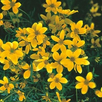 Bidens Golden Goddess