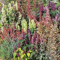 Agastache Fragrant Delight Mixed Seeds