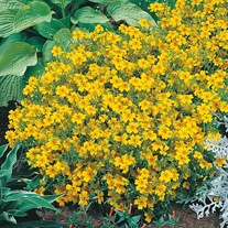 Tagetes Golden Gem