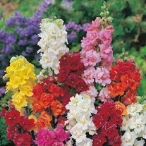 Antirrhinum Seeds - Madame Butterfly F1