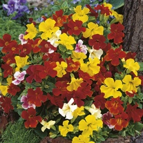 Mimulus Extra Choice Mixed Seeds