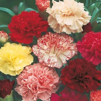 Carnation Choice Double Mixed