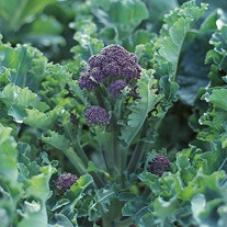 Broccoli Season Long Cropping Seed Collection