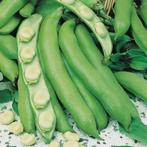 Broad Bean Witkiem Manita Seeds