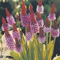 Primula Orchid Primrose Seeds