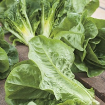 Lettuce Winter Density Seeds