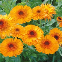 Calendula Princess Orange Black