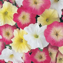 Petunia Knickerbocker Glory F1 Seeds