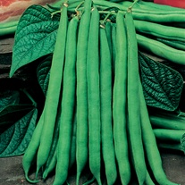 Dwarf (French) Bean Tendergreen