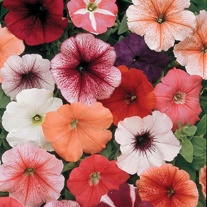 Petunia Mirage Mixed F1 Seeds