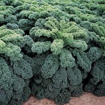Kale Reflex F1 Seeds