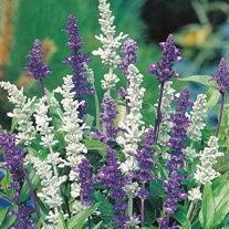 RSPB Salvia Blue & White Mixed