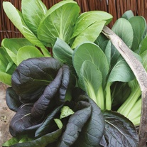 Pak Choi Colour & Crunch F1 Seeds
