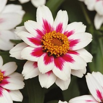 Zinnia Zahara Rose Starlight Seeds