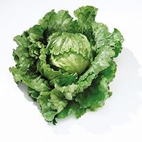 Lettuce Barcelona veg plants
