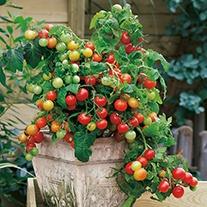 Tomato Koralik F1 (cherry) Veg plants