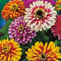 RSPB Zinnia Whirlygig Improved Mixed
