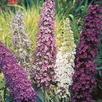 Buddleja Mixed Seeds