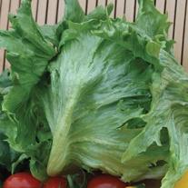 Lettuce Frisee de Beauregard