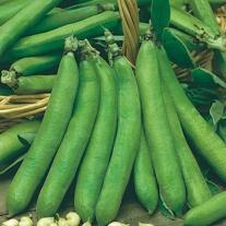Broad Bean Talia Seeds