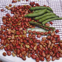 Broad Bean Red Epicure Seeds