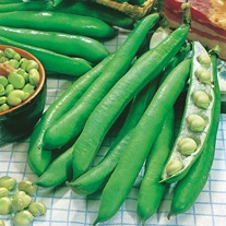 Broad Bean Perla Seeds