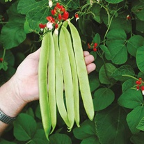 Runner Bean St George Seeds
