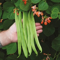 Runner Bean Celebration Seeds