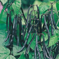 Dwarf Bean Purple Teepee Seeds