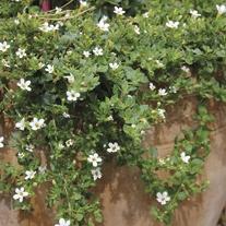 Bacopa Snowtopia Seeds