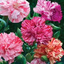 Carnation Picotee Fantasy Mixed Seeds