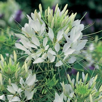 Cleome spinosa Helen Campbell