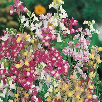 Linaria Fairy Bouquet Mixed