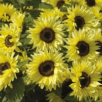 Sunflower Garden Statement