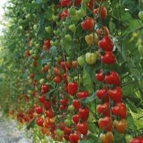 Tomato (Plum) Tomatoberry Garden F1 Seeds