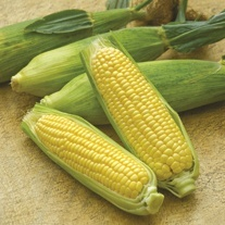 Sweet Corn Mirai Gold F1 Seeds