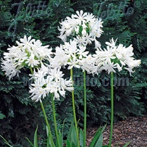 Agapanthus Getty White Seeds