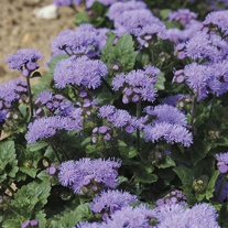 Ageratum Diamond Blue F1 Seeds