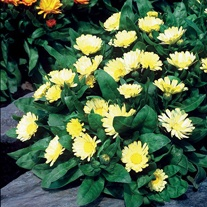 Calendula Lemon Daisy
